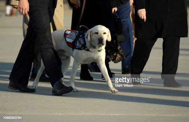Sully the yellow Labrador retriever service dog of former President George HW Bush walks thorugh Joint Base Andrews after the arrival of US Air Force...