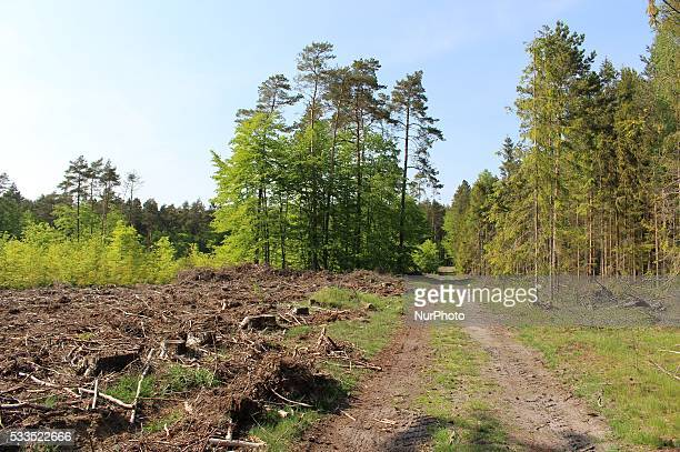 Sulmin Poland 22nd May 2016 Polish Ministry of the Environment explains massive forest logging inc unique worldwide Bialowieza Forest the strict...
