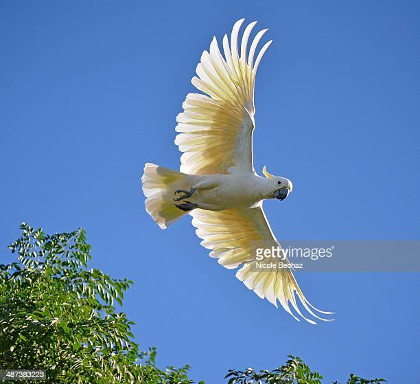 sulpher crested cockatoo - spread wings stock pictures, royalty-free photos & images