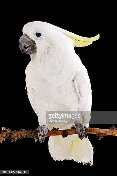 Sulphur Crested Cockatoo perching on branch, studio shot