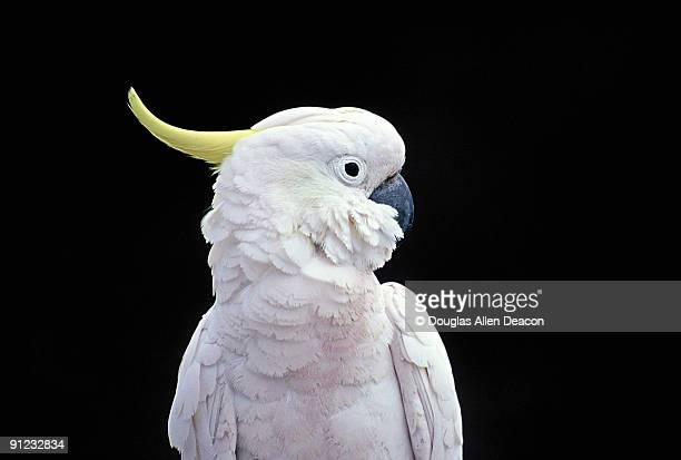 sulphur crested cockatoo (cacatua galerita) - oiseau tropical photos et images de collection