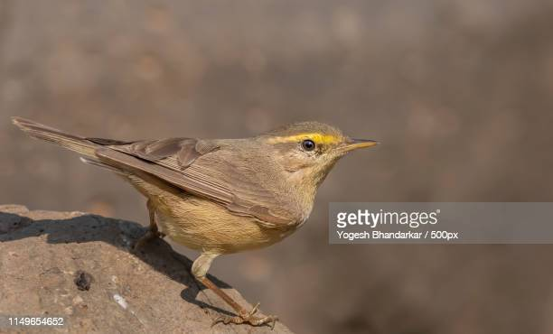 sulphur-bellied warbler - warbler stock pictures, royalty-free photos & images