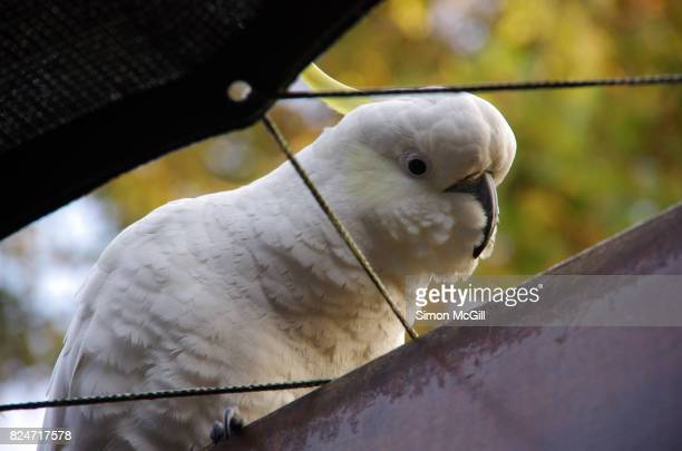 Sulphur-crested cockatoo on a pergola in Canberra, Australian Capital Territory, Australia
