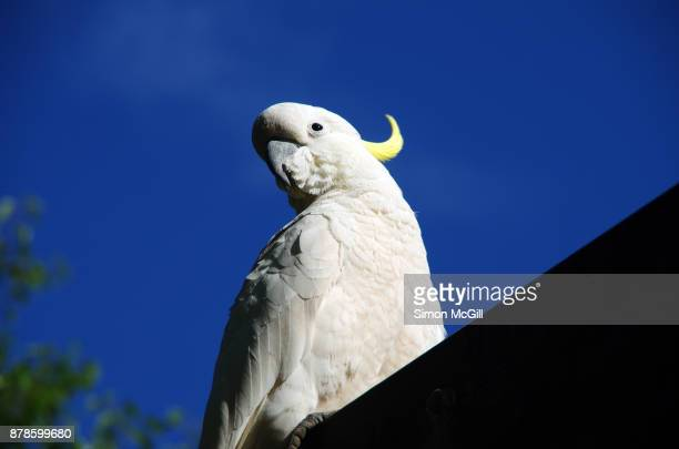 Sulphur-crested cockatoo stands on a pergola in Canberra, Australian Capital Territory, Australia