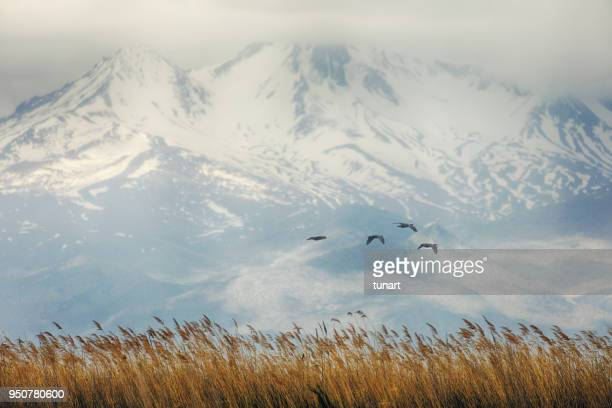 sultan reedy national park and mount erciyes - reed grass family stock photos and pictures