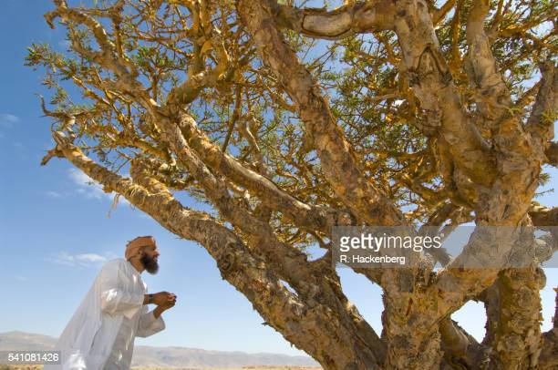 Sultanate Of Oman, Omani Man Dressed In The Traditional Dishdasha With Frankincense Tree