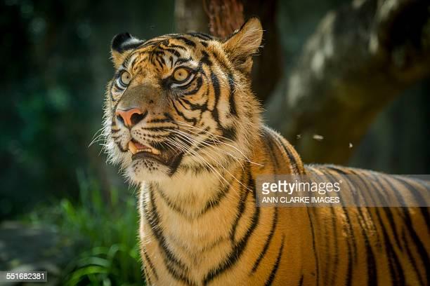 Sumartran Tiger
