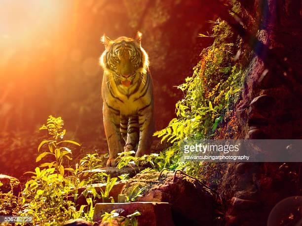 Sumateran Tiger in backlighting