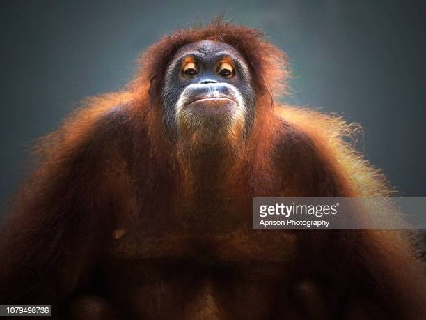 sumatra orang utan looking at camera - primate stock pictures, royalty-free photos & images