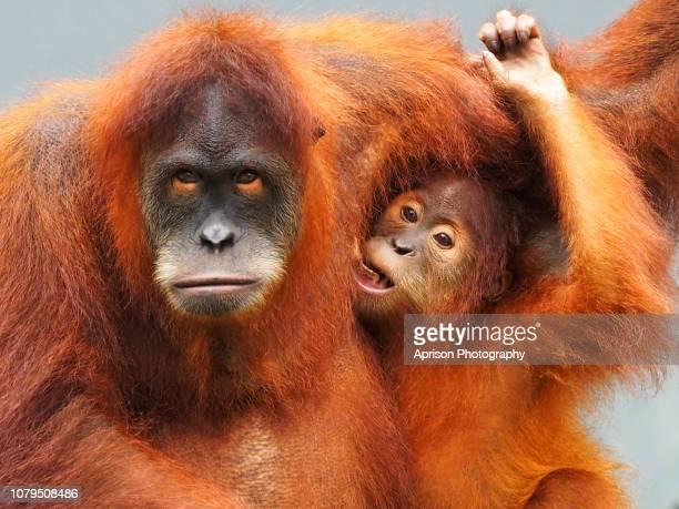 sumatra orang utan looking at camera - especies amenazadas fotografías e imágenes de stock