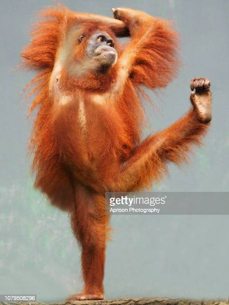 sumatra orang utan showing funny pose - primate stock pictures, royalty-free photos & images