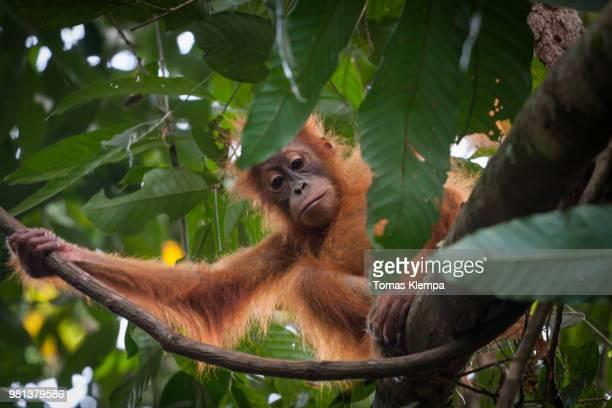 sumatra orangutan - orang outan photos et images de collection