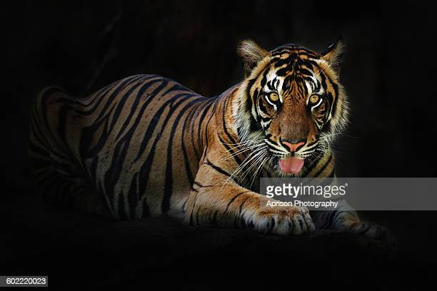 Sumatra Tiger taking a rest and looking at