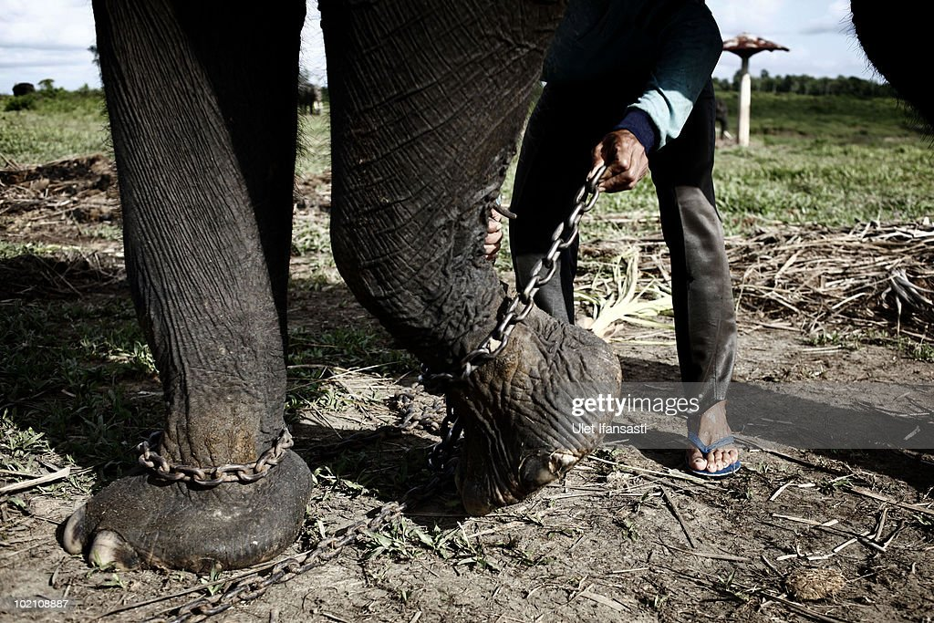 Sumatran elephant being chained by its trainer in between patrolling the conservation looking for illegal loggers who are destroying the habitat of Sumatran elephants on June 13, 2010 in Way Kambas, Lampung, Indonesia. Sumatran elephants are becoming increasingly endangered due to the destruction of their habitat by logging, palm oil and rubber industries. This has resulted in the animals increasingly invading local villages, at times trampling locals to death and destroying homes and crops, as they return to land which was once their habitat and has now been settled by humans following logging. Villages in Lampung saw 327 elephants invade in a three month period during 2009, causing death and destruction as their own habitat continues to be threatened and depleted. Forest rangers and activists from the Wildlife Conservation Society are trying various methods to return them to the forests, including training them to keep away, along with hunting for illegal loggers. The current population for the mammals is estimated at 2000 to 2700.