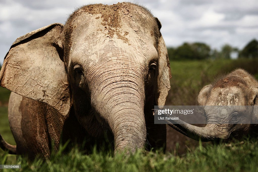 Sumatran Elephant's Threatened With Extinction In Indonesia : News Photo