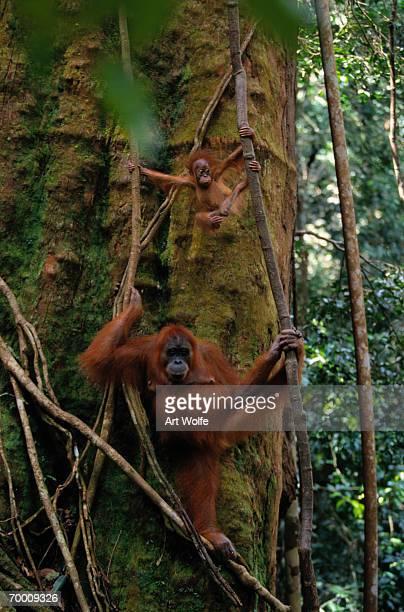 Sumatran orangutan (Pongo pongo abelii) and baby, Indonesia
