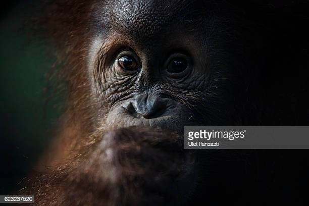A sumatran orangutan at Sumatran Orangutan Conservation Programme's rehabilitation center on November 10 2016 in Kuta Mbelin North Sumatra Indonesia...