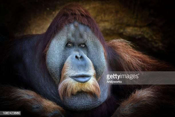 sumatra-orang utan-chef - animals in the wild stock-fotos und bilder