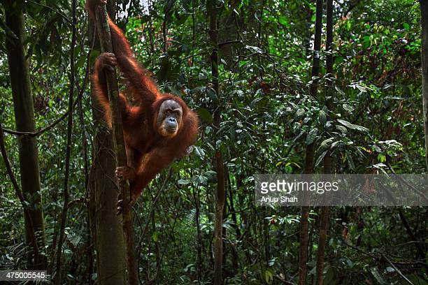 Sumatran Orangutan female 'Minah'