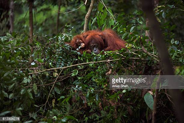 sumatran orangutan female 'sandra' aged 22 years resting with her baby daughter 'sandri' aged 1-2 - bird's nest stock pictures, royalty-free photos & images