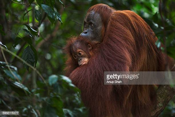 Sumatran Orangutan female 'Suma' aged 36 years and female baby 'Sumi' aged 2-3 sitting in a tree