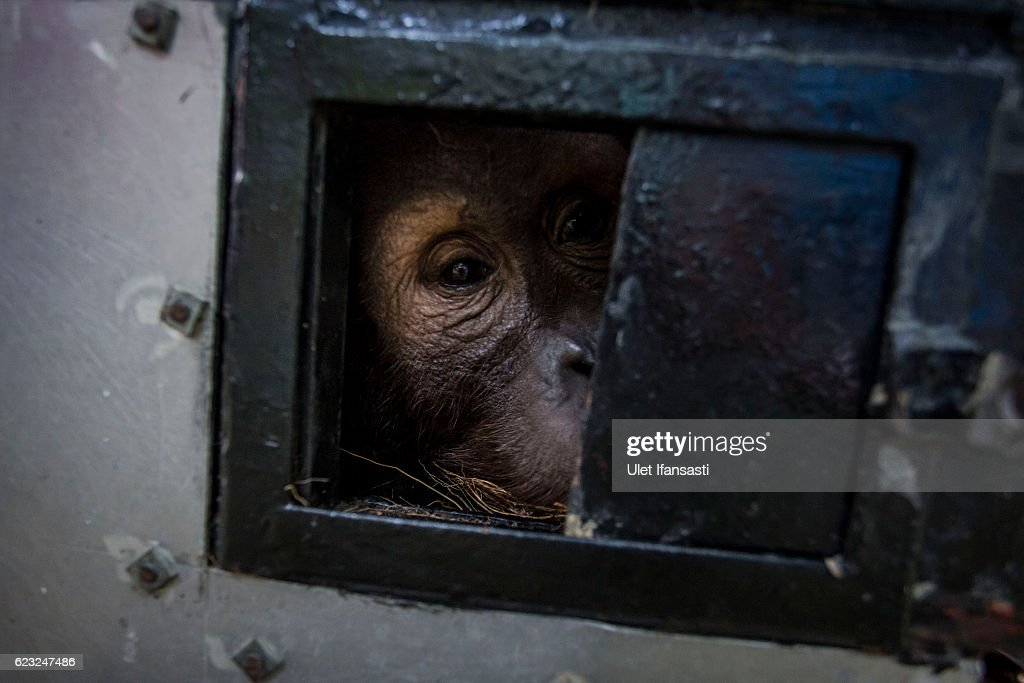 A Sumatran orangutan (Pongo abelii) is seen inside a cage as being prepared to be released into the wild at Sumatran Orangutan Conservation Programme's rehabilitation center on November 14, 2016 in Kuta Mbelin, North Sumatra, Indonesia. The Orangutans in Indonesia have been known to be on the verge of extinction as a result of deforestation and poaching. Found mostly in South-East Asia, where they live on the islands of Sumatra and Borneo, the endangered species continue to lose their habitat as a result of corporate expansion in a developing economy. Indonesia approved palm oil concessions on nearly 15 million acres of peatlands over the past years and thousands of square miles have been cleared for plantations, including the lowland areas that are the prime habitat for orangutans.