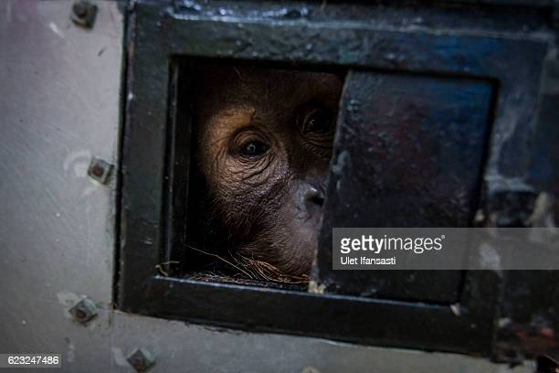Sumatran orangutan is seen inside a cage as being prepared to be released into the wild at Sumatran Orangutan Conservation Programme's rehabilitation...