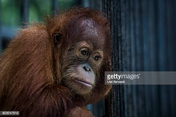 A sumatran orangutan is seen inside a cage at Sumatran Orangutan Conservation Programme's rehabilitation center on November 10 2016 in Kuta Mbelin...