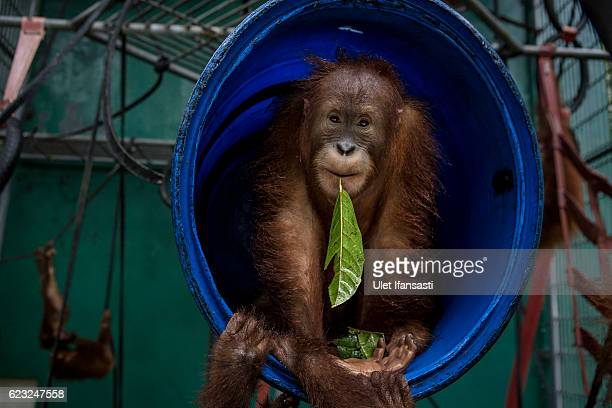 A sumatran orangutan is seen inside a cage at Sumatran Orangutan Conservation Programme's rehabilitation center on November 11 2016 in Kuta Mbelin...