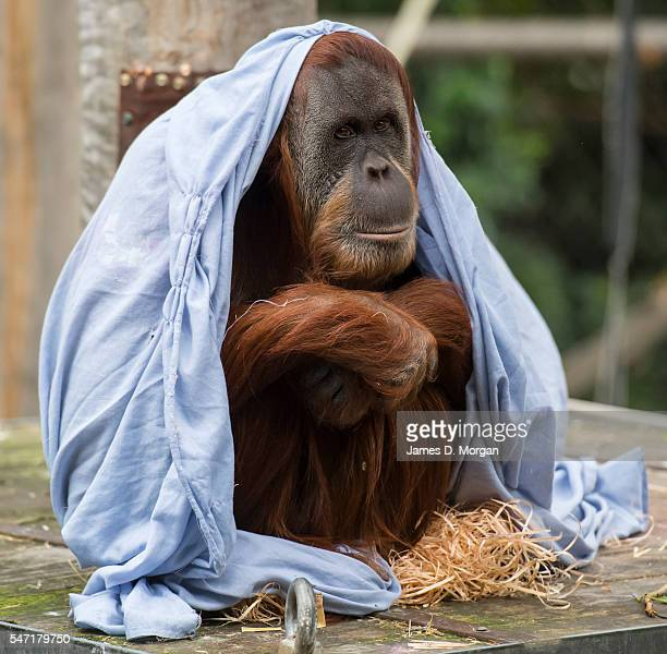 Sumatran Orangutan Maimunah at Melbourne Zoo on July 14, 2016 in Melbourne, Australia. Melbourne is currently experiencing a cold snap, with hail and...