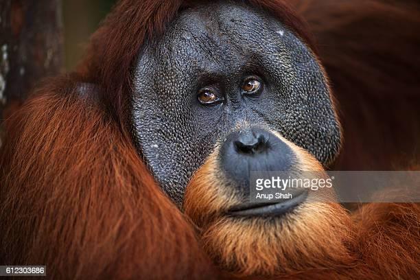Sumatran Orangutan mature mae 'Halik' aged 26 years portrait