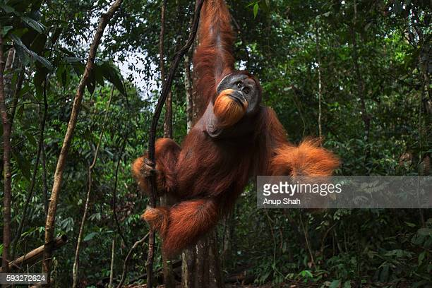 sumatran orangutan mature male 'halik' aged 26 years swinging from a liana - male animal stock pictures, royalty-free photos & images