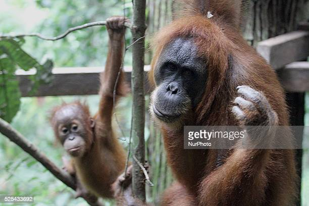 A Sumatran Orangutan with his son is in the forest area of Gunung Leuser National Park Langkat Sumatra Indonesia on Tuesday November 18 2014 Experts...