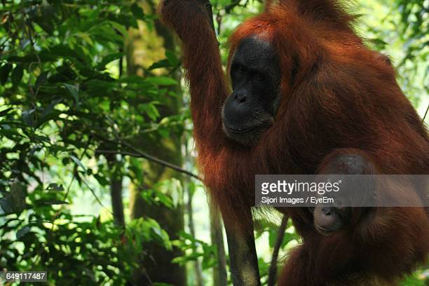 Sumatran Orangutan With Infant On Tree At Forest