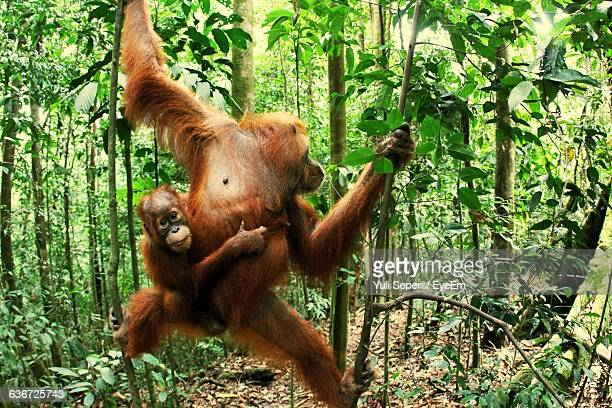 Sumatran Orangutans Hanging On Trees