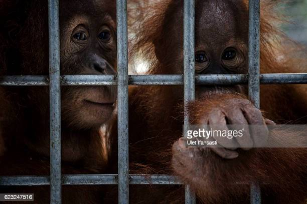 Sumatran orangutans is seen inside a cage at Sumatran Orangutan Conservation Programme's rehabilitation center on November 10 2016 in Kuta Mbelin...