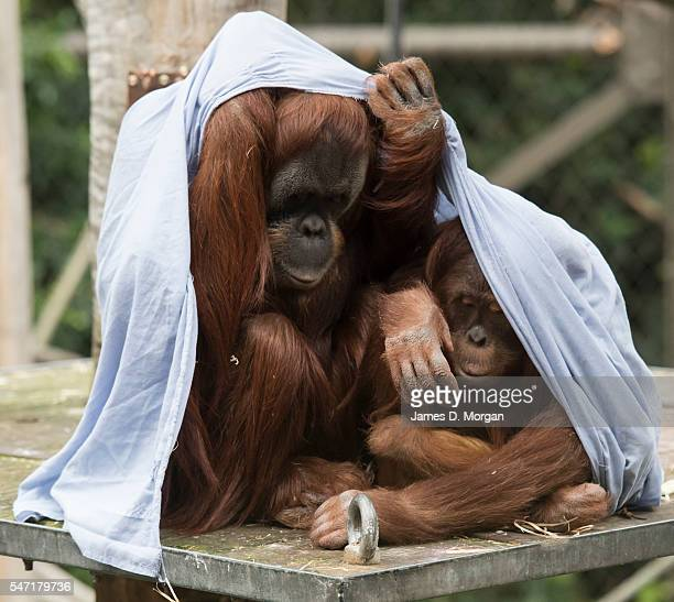 Sumatran Orangutans Maimunah and her daughter Dewi at Melbourne Zoo on July 14, 2016 in Melbourne, Australia. Melbourne is currently experiencing a...