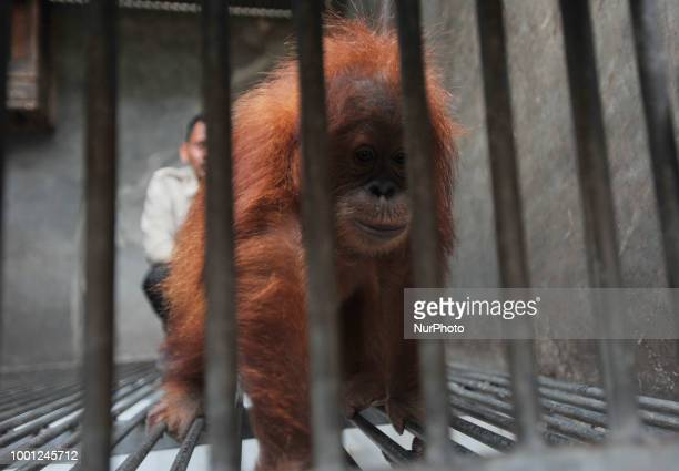 Sumatran orangutant named Otan is translocated to the Lestari Ecosystem Foundation Sumatran Orangutan Conservation Program Otan in Jakarta Indonesia...