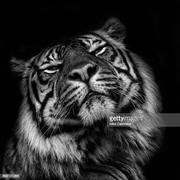 sumatran tiger 2 - mike caithness stock pictures, royalty-free photos & images
