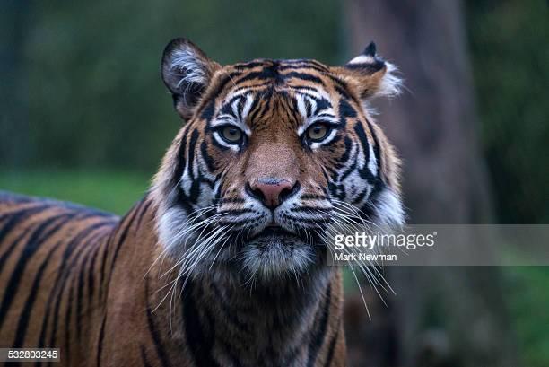 Sumatran tiger adult