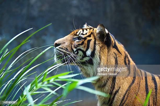 Sumatran tiger at Taronga Zoo.