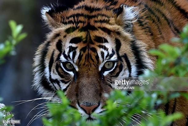 A Sumatran tiger called Tila is pictured in its area at the Bioparco of Rome on March 31 2016 / AFP / TIZIANA FABI