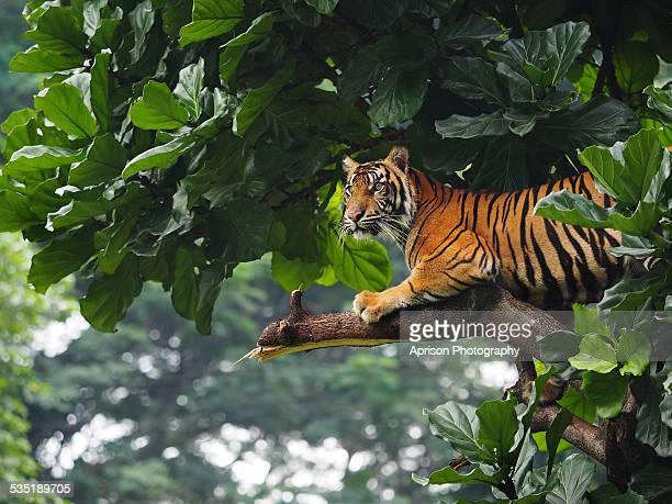 Sumatran Tiger climbing and sitting back on a tree