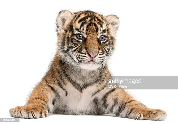 sumatran tiger cub - panthera tigris sumatrae - tiger cub stock photos and pictures