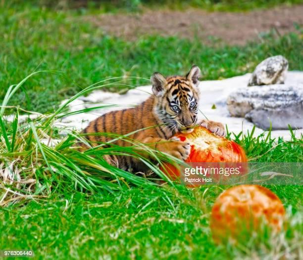 sumatran tiger (panthera tigris sumatrae) cub playing with pumpkin in zoo - sumatran tiger stock pictures, royalty-free photos & images