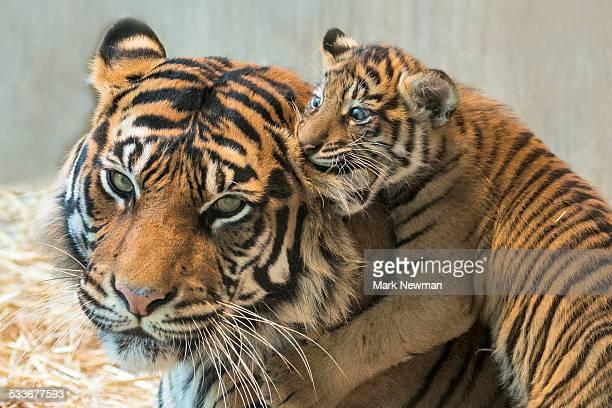 sumatran tiger cub with mother - 動物の親子 ストックフォトと画像