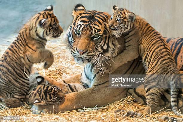 sumatran tiger cub with mother - tiger cub stock photos and pictures