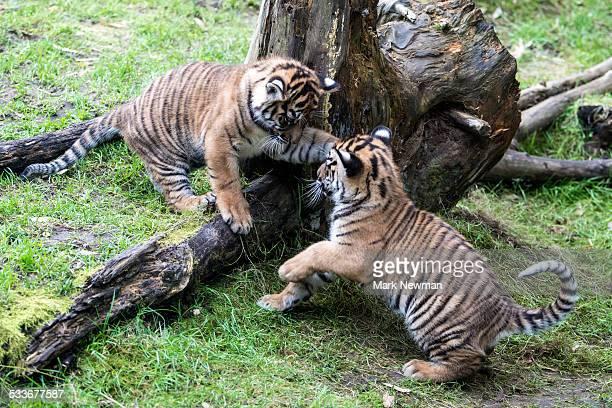 sumatran tiger cubs playing - tiger cub stock photos and pictures