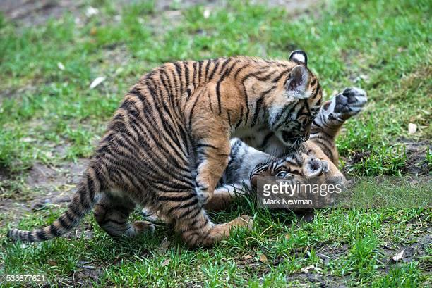 Sumatran tiger cubs playing