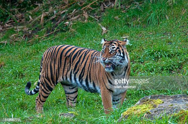 sumatran tiger growling - sumatran tiger stock pictures, royalty-free photos & images